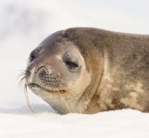 Foto de una foca en la nieve